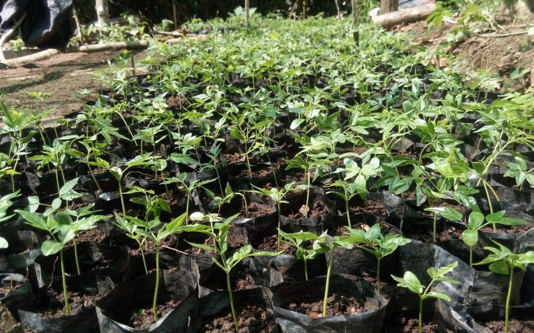 """Se intensifica el programa forestal en la región Huánuco, en el marco del proyecto """"Protección del bosque para un desarrollo sostenible"""""""